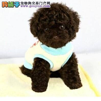 预售精品韩国血系长沙泰迪犬 可办理血统证书保真2