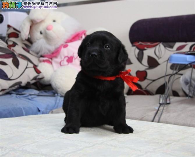 精品拉布拉多幼犬三针齐全已驱虫导盲犬拉拉北京出售