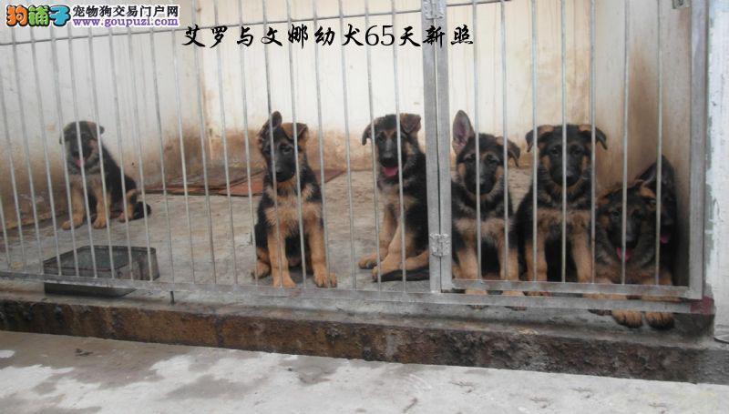 德牧牧羊幼犬出售,弓背,支持上门看狗