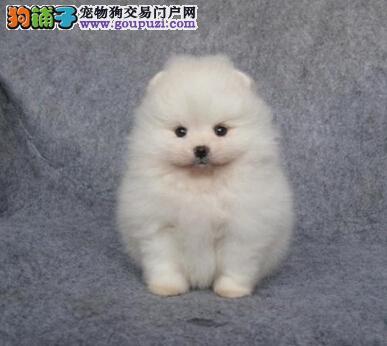 如何判断博美犬长大后会不会变漂亮
