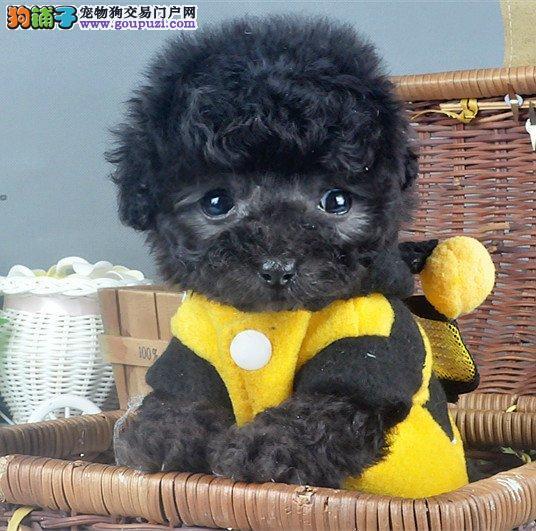 萌翻啦韩国引进纯血统最流行的茶杯犬泰迪熊犬