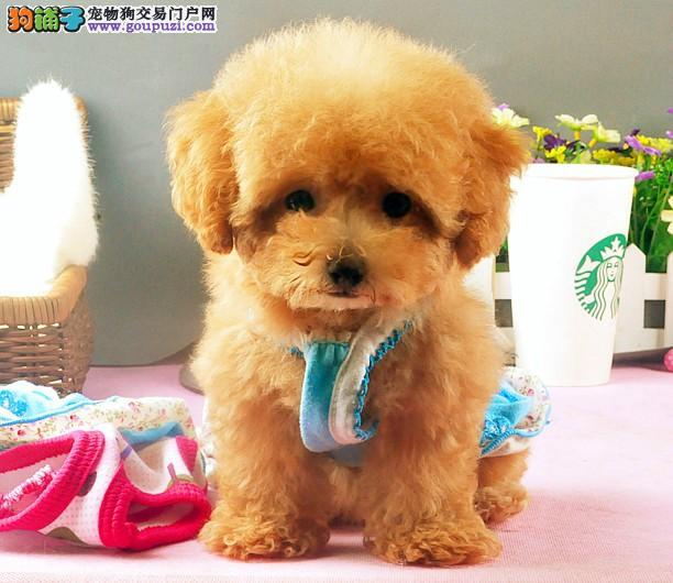 萌翻啦韩国引进纯血统最流行的茶杯犬泰迪熊犬2