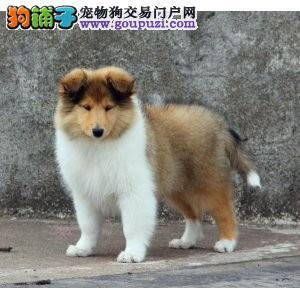 北京CKU高品质赛级喜乐蒂幼犬终身保障可来场选