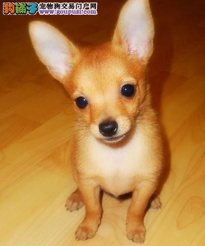 榆林诚信交易纯种小鹿犬 健康终身保障 签协议送狗用品