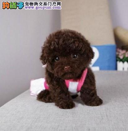 出售各种茶杯犬泰迪博美吉娃娃雪纳瑞约克夏幼体3