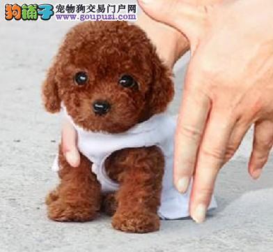 铜川市出售茶杯犬幼犬 疫苗齐全 质保三年 全国包邮