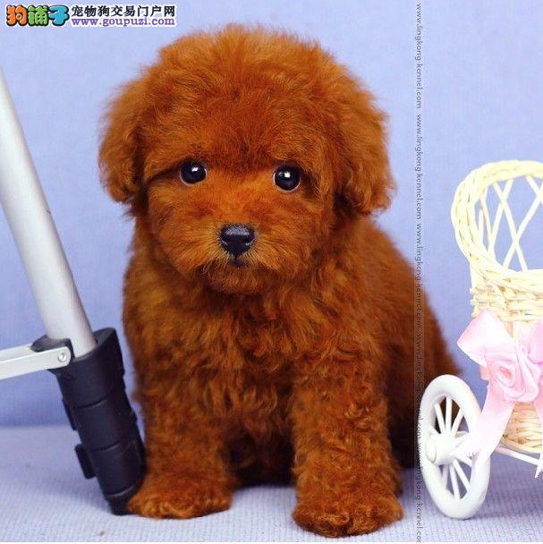 出售南昌茶杯犬专业缔造完美品质可刷卡可视频1