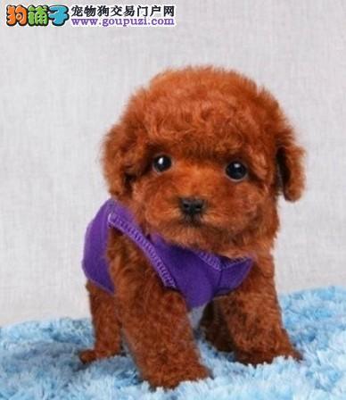 CKU犬舍认证出售纯种茶杯犬喜欢它的快来2