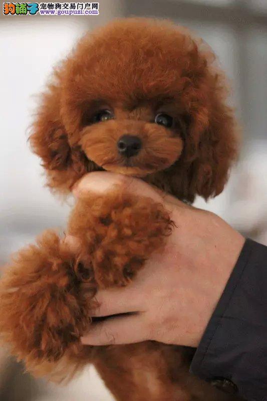 深圳出售精品纯种小型犬比熊宝宝袖珍迷你茶杯犬宠物狗