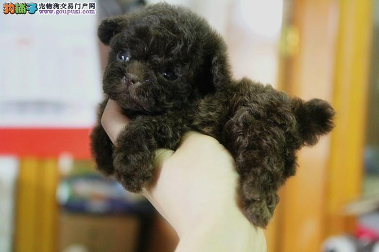 纯种茶杯犬幼崽,保证血统纯度,签订正规合同