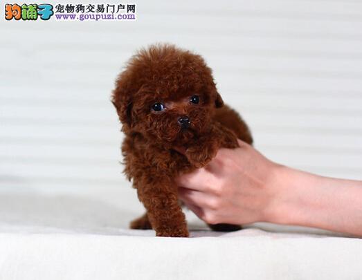 高品质的长春茶杯犬找爸爸妈妈品质血统售后均有保障3