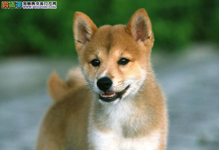 合肥热卖柴犬多只挑选视频看狗价格美丽品质优良