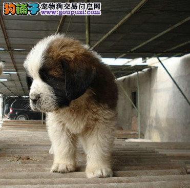 出售纯种圣伯纳幼犬保证健康1