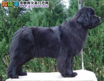 济南最大犬舍出售多种颜色纽芬兰犬终身售后协议