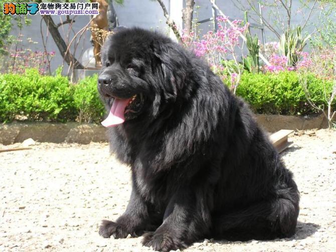 出售聪明伶俐纽芬兰犬品相极佳送用品送狗粮