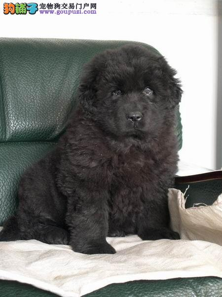 本地出售高品质纽芬兰犬宝宝微信选狗直接视频