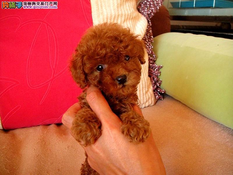 实物拍摄的南宁茶杯犬找新主人终身售后协议1