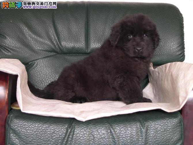 合肥大型犬舍低价热卖极品纽芬兰犬带血统证书签活体协议3