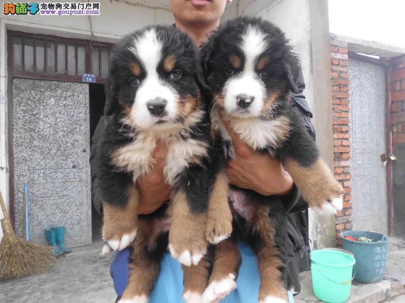 北京瑞士伯恩山犬 大型陪伴犬温顺热情 全国空运可视频