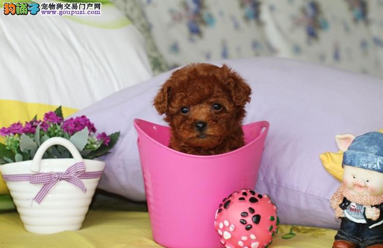 韩国引进的纯种茶杯体泰迪犬 成犬肩高不超过18厘米