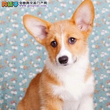 高品质西高地幼犬/可签订质保协议2