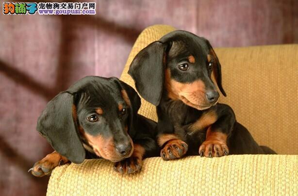 东莞哪里有腊肠多少钱 幼犬价格 纯种腊肠犬图片介绍