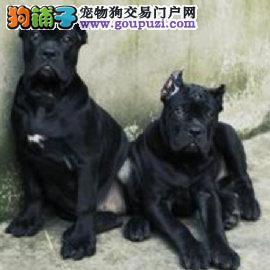 成都犬舍的卡斯罗犬宝贝们3