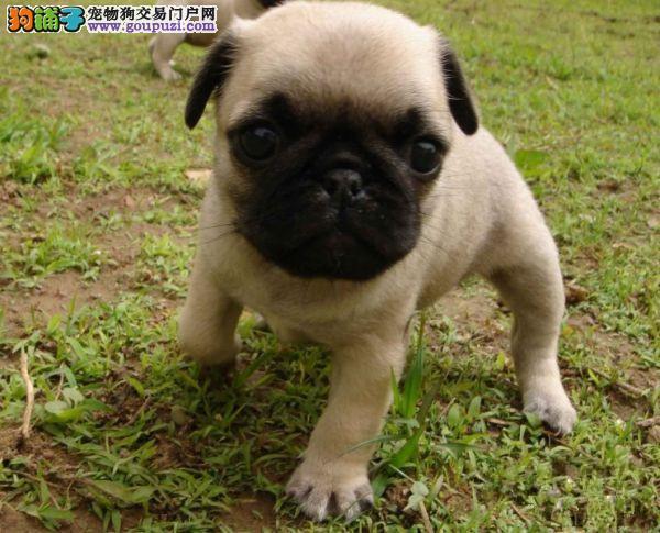 纯种巴哥犬,合肥纯种巴哥狗狗多少钱