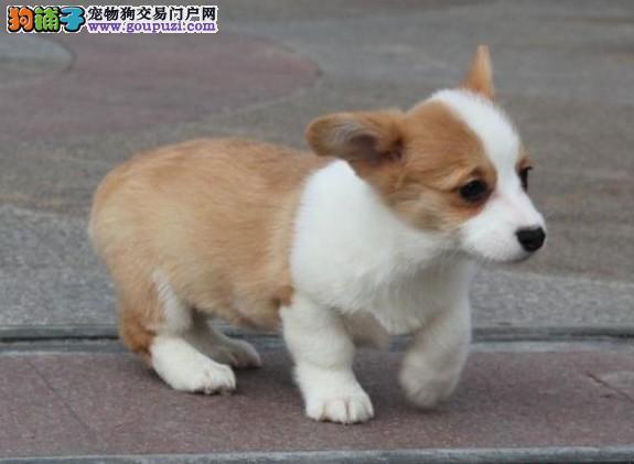柯基犬又名威尔士短腿狗小短腿 大能量