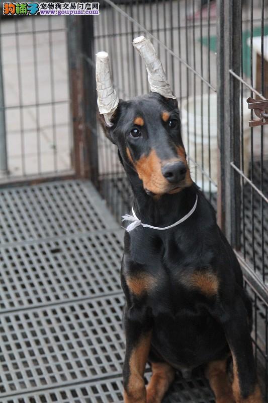 赤峰赛级纯种幼犬杜宾犬 德系杜宾 美系杜宾犬 出售