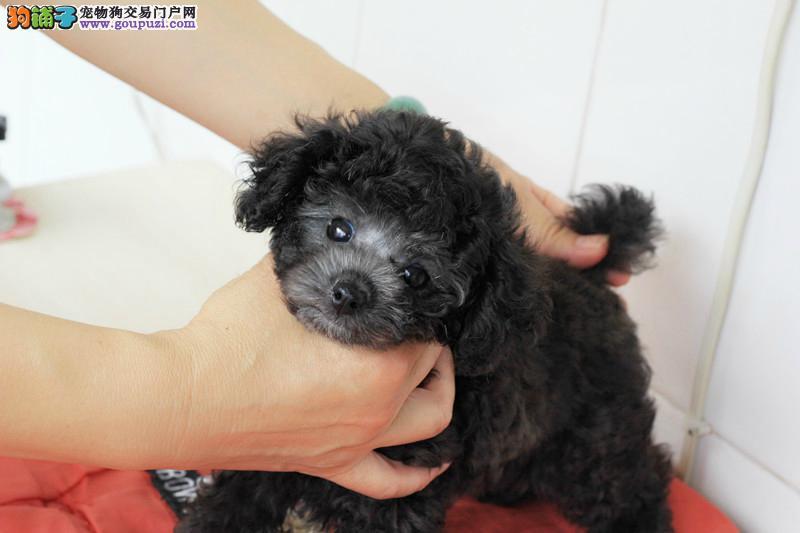 茶杯犬幼犬出售中、纯度第一品质第一、专业信誉服务