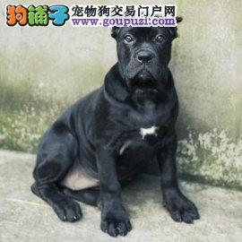 卡斯罗幼犬出售纯种黑色卡斯罗价格2