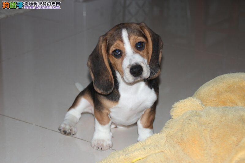 热销多只优秀的纯种比格犬幼犬可以送货上门