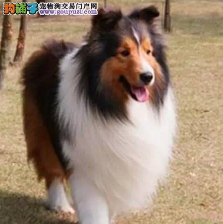 广州出售纯种超级完美毛色帅气的喜乐蒂宝宝