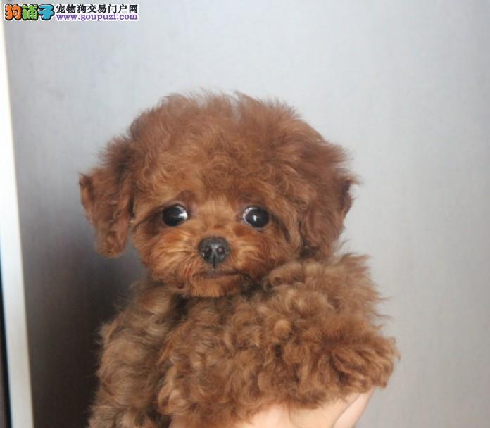 韩系茶杯犬质量三包签协议当时化验健康