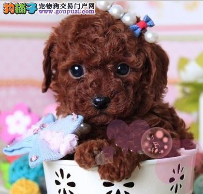 赛级品相茶杯犬幼犬低价出售品相一流疫苗齐全3