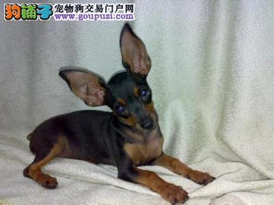 家养多只小鹿犬宝宝出售中签订终身协议
