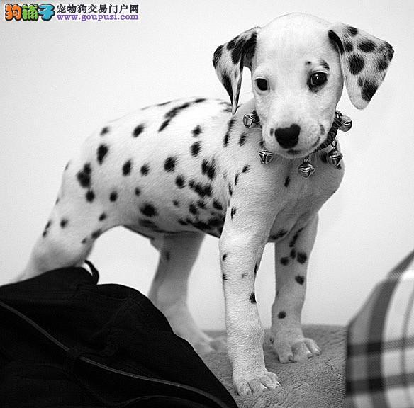 斑点狗幼犬热销中,顶级品质专业繁殖,签订终身合同1