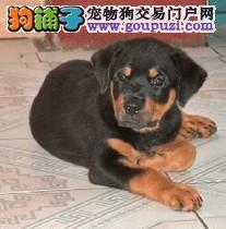 北京出售 防暴犬罗威纳 洛威拿公狗幼犬