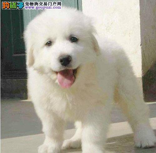 成都哪里有卖大白熊犬的 成都大白熊犬价格 多少钱3