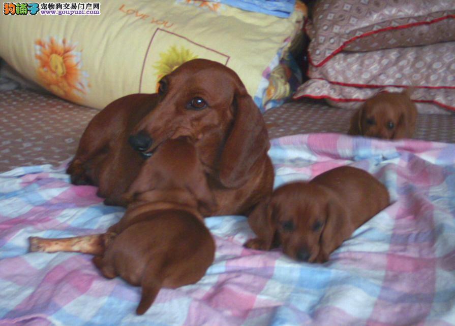 长沙出售纯种活泼、勇敢腊肠犬多只可选健康保障
