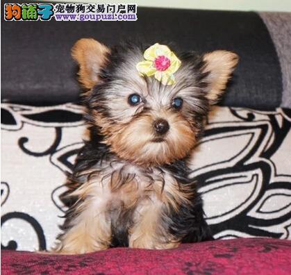 专业繁殖纯种郑州约克夏疫苗齐全微信看狗可见父母
