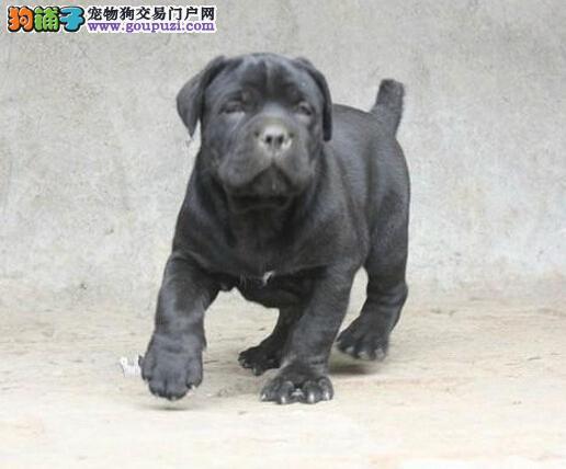 出售卡斯罗犬颜色齐全公母都有最优秀的售后