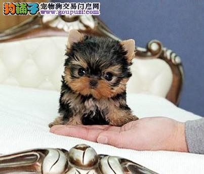 高品质纯血统小体毛长金头银背约克幼犬等您带回家!