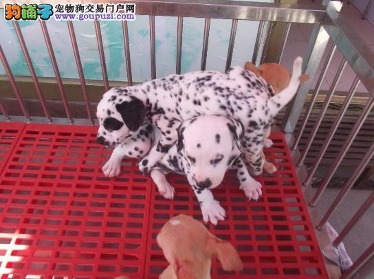 出售自家大狗下的斑点狗幼犬