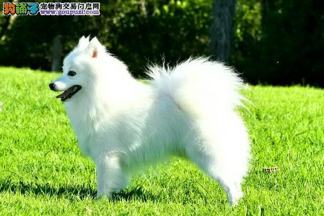 昆明正宗 银狐专卖 昆明银狐价格/图片
