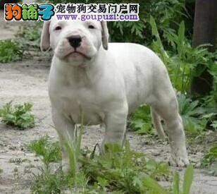 出售杜高犬专业缔造完美品质终身售后保障