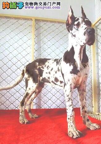 专业正规犬舍热卖优秀的长沙大丹犬我们承诺终身免费售后1