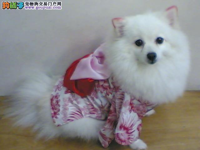 上海正规繁殖基地出售银狐幼犬价格优惠品相好上门看狗1