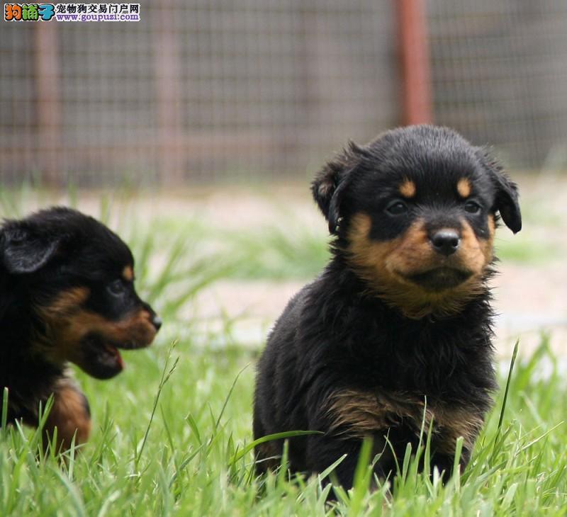 罗威纳幼犬热销中,一宠一证视频挑选,全国送货上门